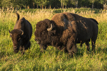 Wild Male Plains Bison Courts A Female During The Mating Season, Elk Island National Park, Alberta, Canada