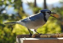 A Blue Jay At The Bird Feeder