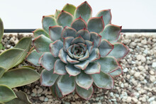Succulent In Garden - Green Echeveria