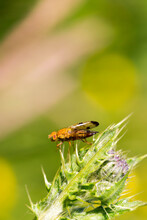 Yellow Fly Stood Delicately On Thistle Spikes