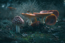 Fly Agaric Close-up, Poisonous Mushrooms In A Gloomy Dark Forest,