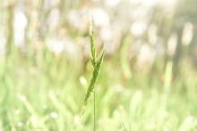 Wild Grass Stalk Backlit