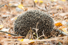 A Wild Hedgehog In The Autumn ...