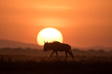 African Safari In Red Dawn Sun...