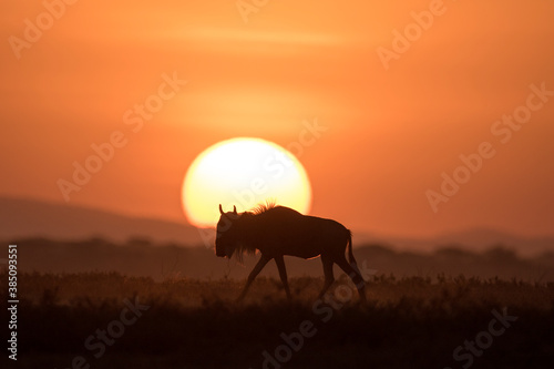 Obraz African safari in red dawn sunrise - fototapety do salonu