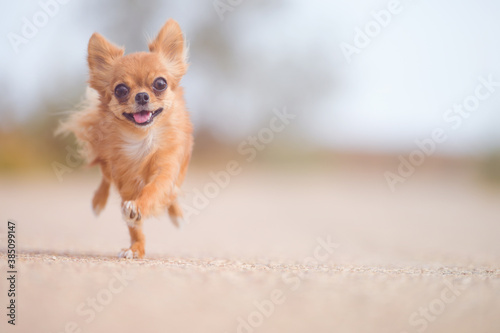 little running active pet sport dog chihuahua running outdoor training leisure with copy space fast © ruslanshug