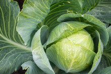 Head Of Ripe Cabbage With Extended Leaves And Water Drops Close Up Top Down View In Daylight