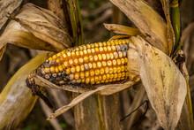 Rotting Corn In The Husk