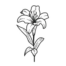Flower Witte Lelie