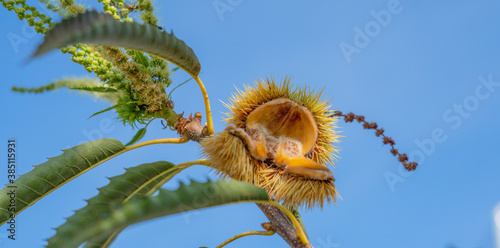 chestnut curls on the tree in the woods, typical Sardinian chestnuts, aritzo