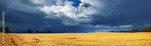 Fototapeta Golden cereal agricultural field under dark sky with ornamental cumulus clouds. Dramatic cloudscape. Idyllic rural scene. Farm alternative production, environment. Panoramic view obraz