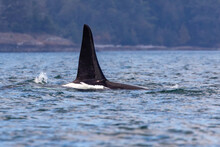 Killer Whale (Orcinus Orca) Of...