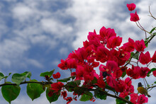 Cluster Of Pink Bougainvillea Flowers With Songbird And Carpenter Bee