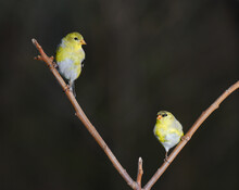 Front View Of Two Molting Male American Goldfinches In Spring