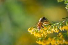 Honeybee Pollinating Goldenrod