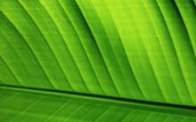 Green Strelitzia Leaf