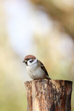 Eurasian Tree Sparrow In The G...