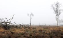 Trees In Foggy Field Of Heather