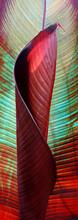 Unfolding Tropical Canna Leaf