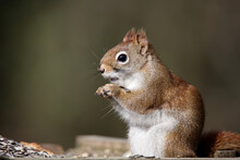 American Red Squirrel Eating S...