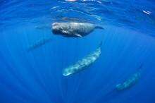 Pod Of Sperm Whales