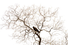 Galapagos Hawk In Bare Tree