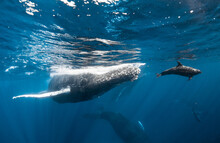 Dolphin Rides Bow Wave Of Hump...