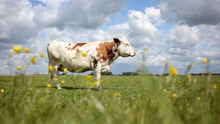 Grazing Cow In Field