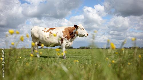 Grazing cow in field