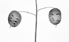 Lunaria Plant Seedpods