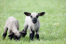 Hampshire Down Lambs
