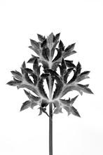 Eryngium Thistle Leaf