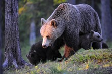 Brown Bear (Ursus Arctos) Female With Little Cubs In A Coniferous Forest, Karelia, Eastern Finland, Europe