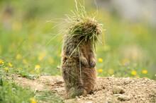 Marmot (Marmota) With Tufts Of...
