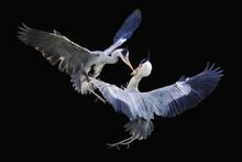 Grey Herons (Ardea Cinerea), F...