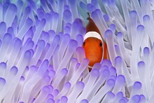 Western Clownfish (Amphiprion ...