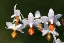 Mini Mark Orchids, Flowers, Ge...