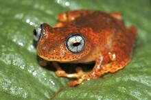 Skeleton Frog (Boophis Pyrrhus...