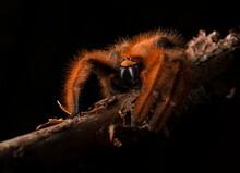 Spider On Branch (Megaloremmiu...