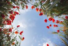 Field Of Poppy Flower Against ...