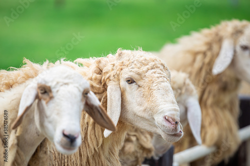 Fotografia Flock of sheep eating grass in the zoo