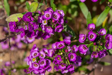 Close Up Texture View Of Tiny Bright Purple Flower Blossoms On A Sweet Alyssum Plant With Defocused Background