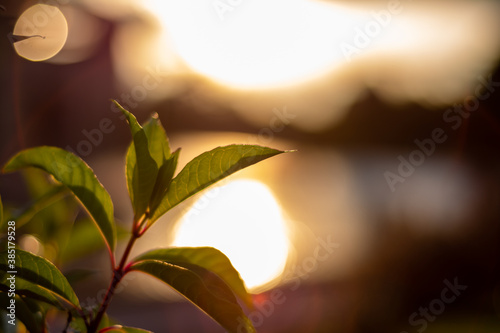 Fototapeta flor verde con puesta de sol de fondo