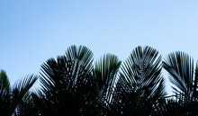 Silhouette Palm Trees Leaf On The Beautiful Sky Background.
