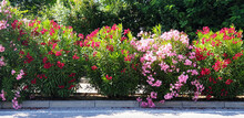 Bushes Of Red And Pink Flowers Nerium Oleander Growing Along The Road.