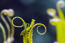 Praying Mantis On Leaf Of Fern