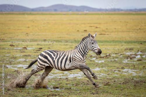 Naklejka premium Zebra running in muddy plains of Amboseli National Park in Kenya