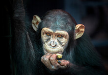 Child Chimpanzee Face On Black...