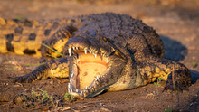 Nile Crocodile With Mouth Open Showing Teeth In Chobe River In Botswana