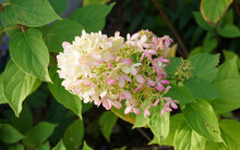Hydrangea Paniculata Or Panicle Hydrangea With Spectacular Two-tone Effect, Creamy-white To Gradually Pink Panicles Of Flowers
